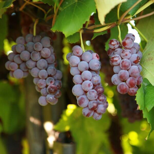 Buy Delaware Grapevines