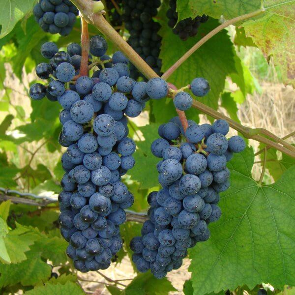 Buy Mar_chal  Foch Grapevines