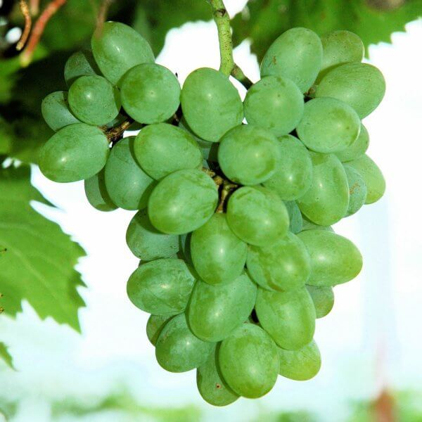 Buy Gratitude Grapevines