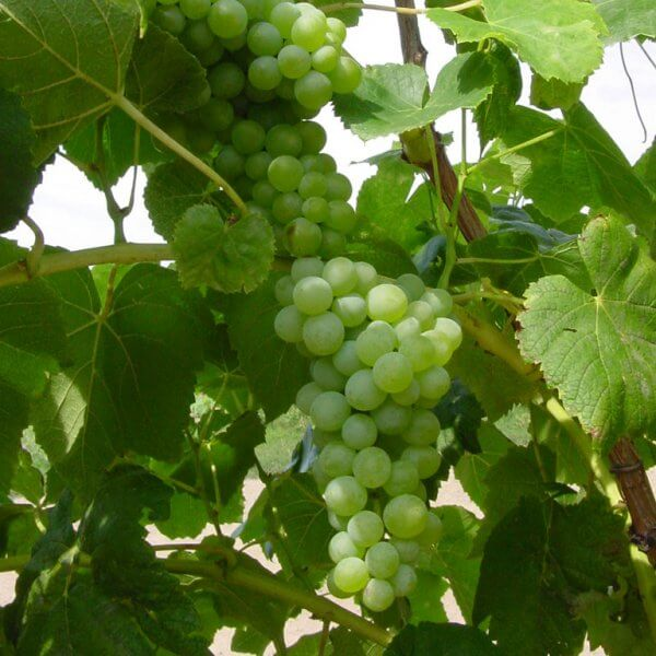 Buy Lakemont Grapevines