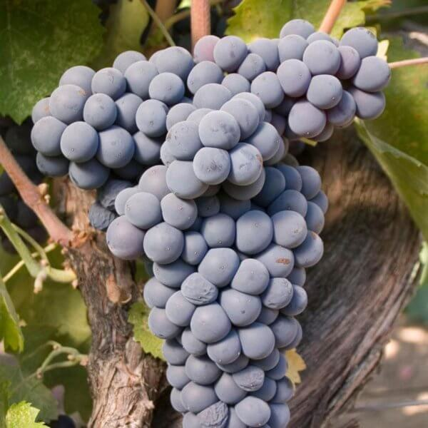 Mourvédre - Grafted Grapevines