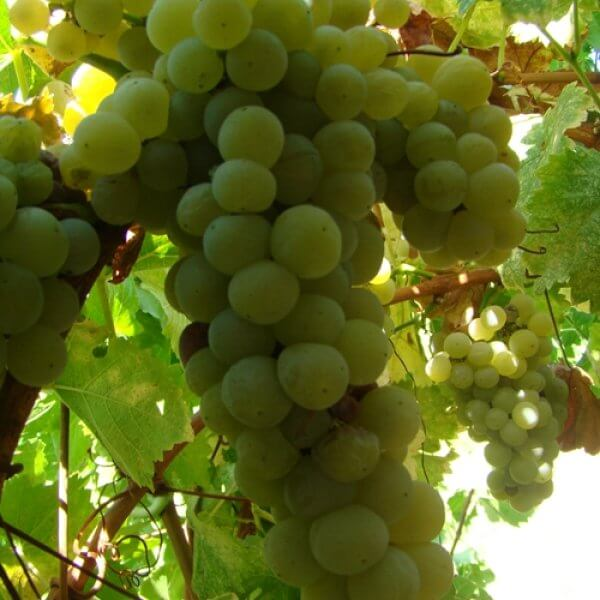Buy Muscat  Ottonel Grapevines