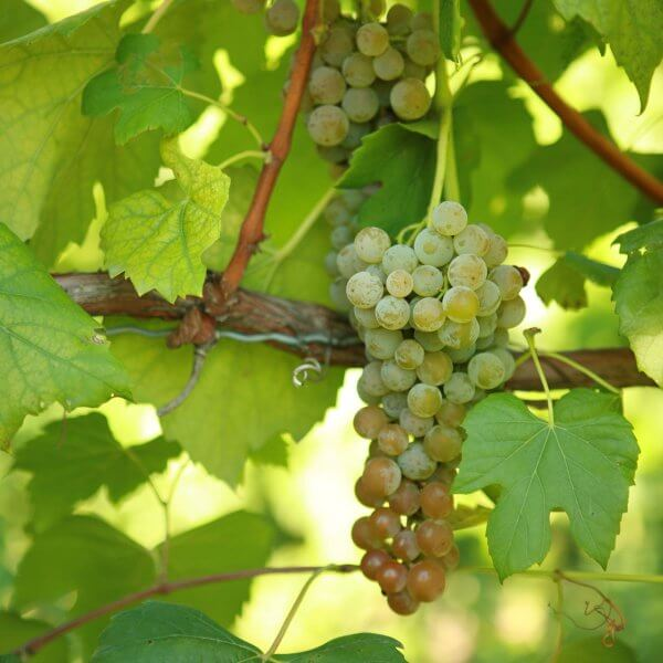 Buy Aromella Grapevines