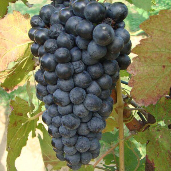 Buy Petite Sirah Grapevines