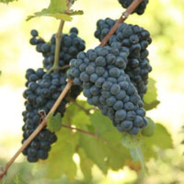 Buy Pinot Noir Grapevines