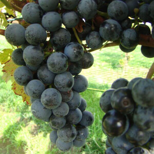 Buy Regent Grapevines