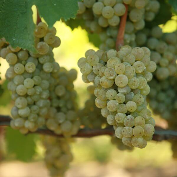 Buy Riesling Grapevines