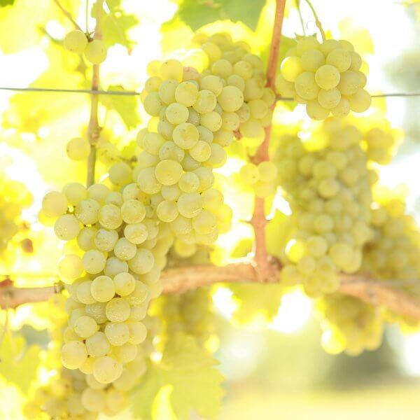 Buy Sauvignon  Blanc Grapevines