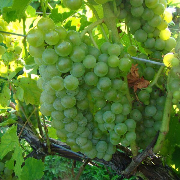 Buy Seyval Blanc - Grafted Grapevines