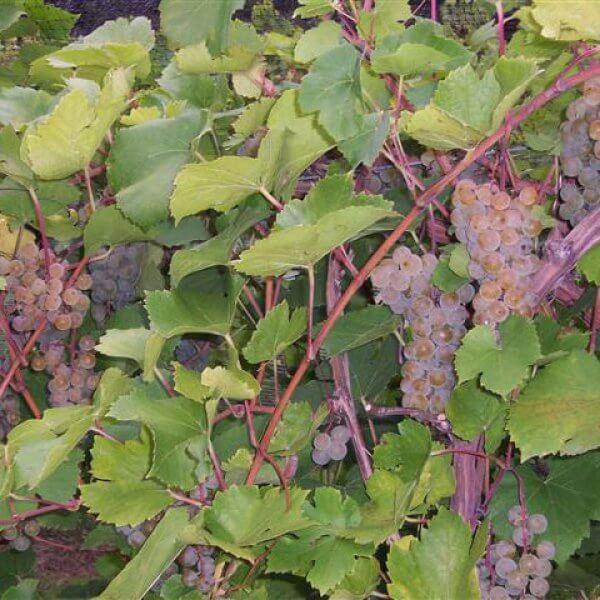 Buy St. Pepin Grapevines