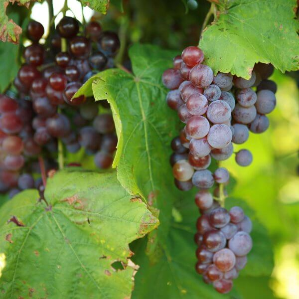 Buy Swenson Red Grapevines