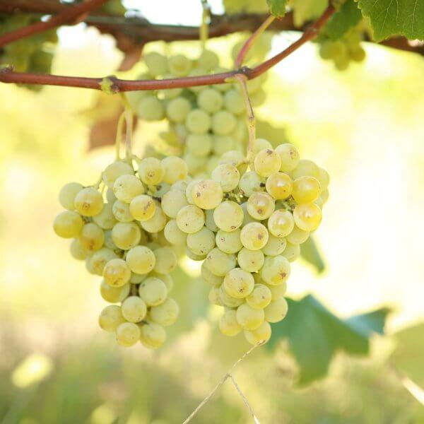 Buy Swenson White Grapevines