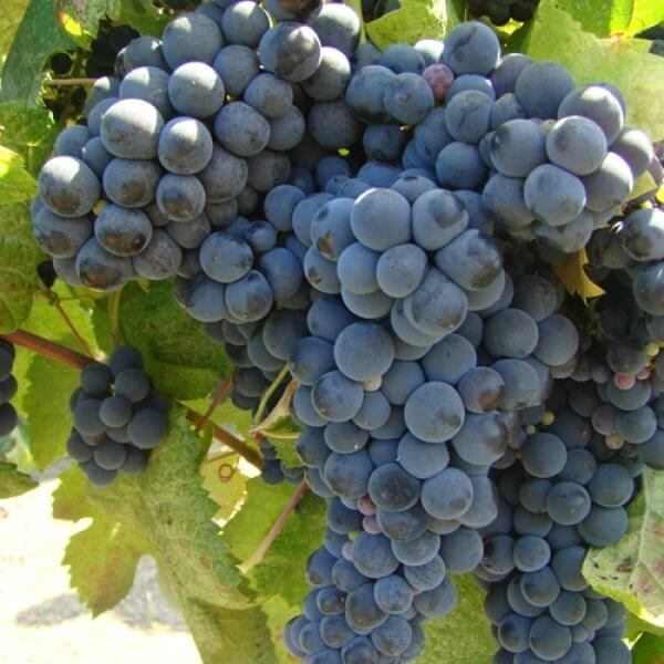 Buy Tannat Grapevines