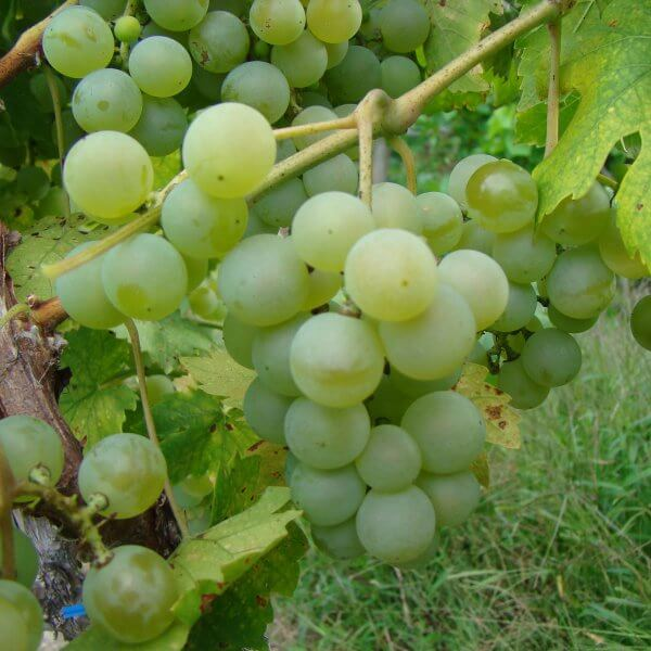 Buy Valvin Muscat Grapevines
