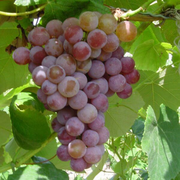 Buy Vanessa Grapevines