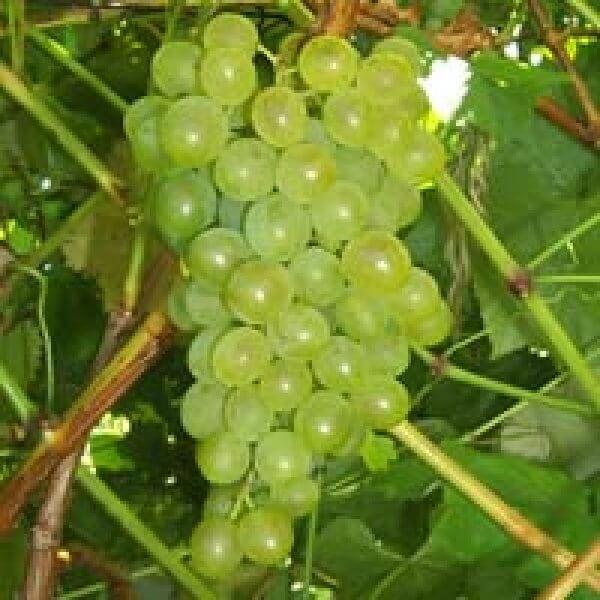 Buy Villard Blanc Grapevines