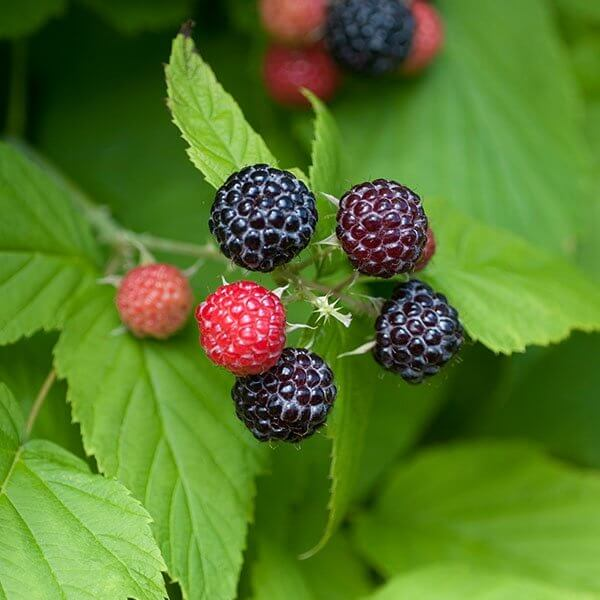 Bristol Black Raspberries