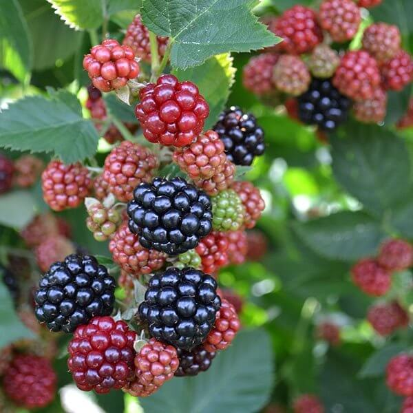 Chester Blackberries (Thornless)