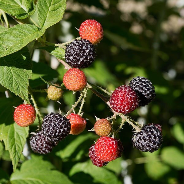 Niwot Raspberries