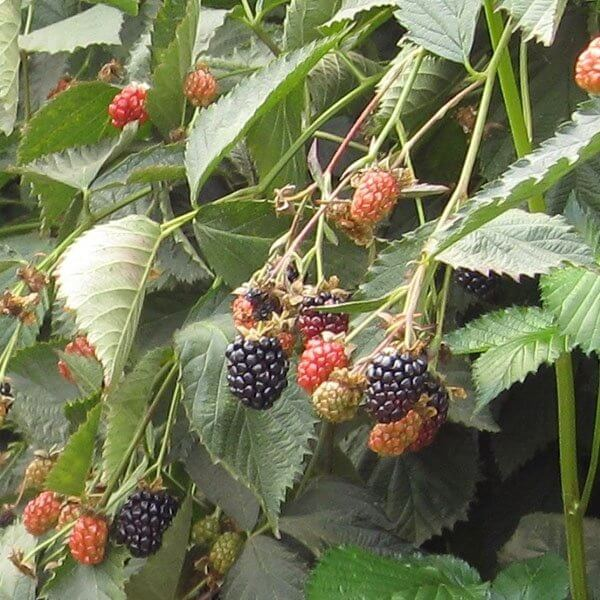 Ouachita Blackberries