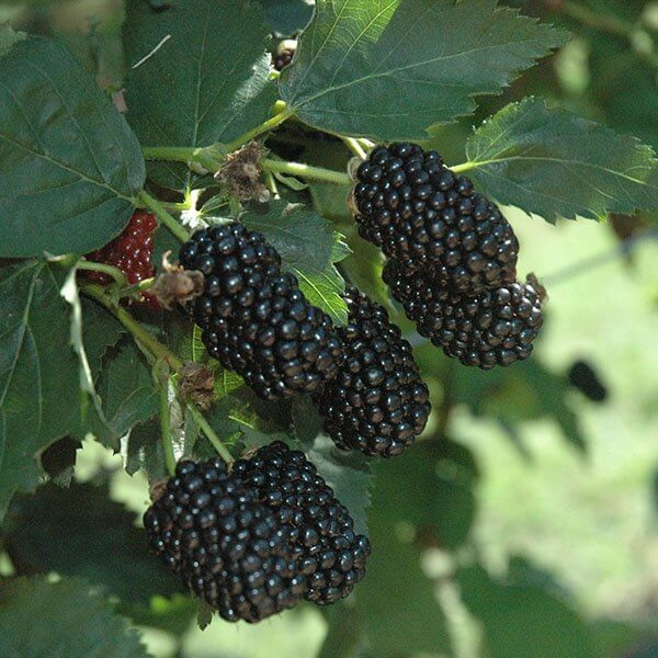 Prime Ark® Freedom Blackberries