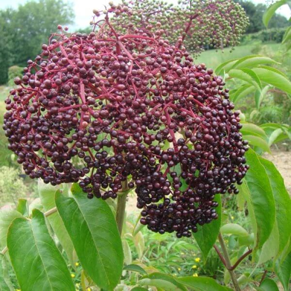 Adams Elderberries