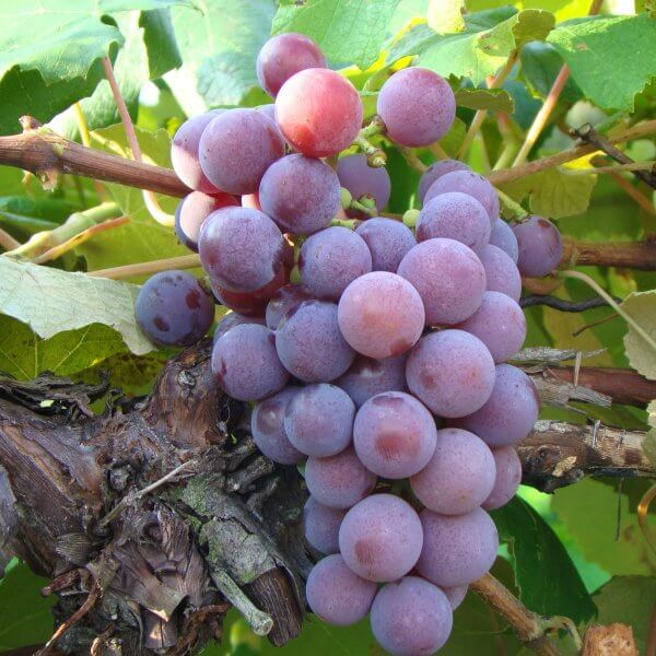 Buy Catawba Grapevines