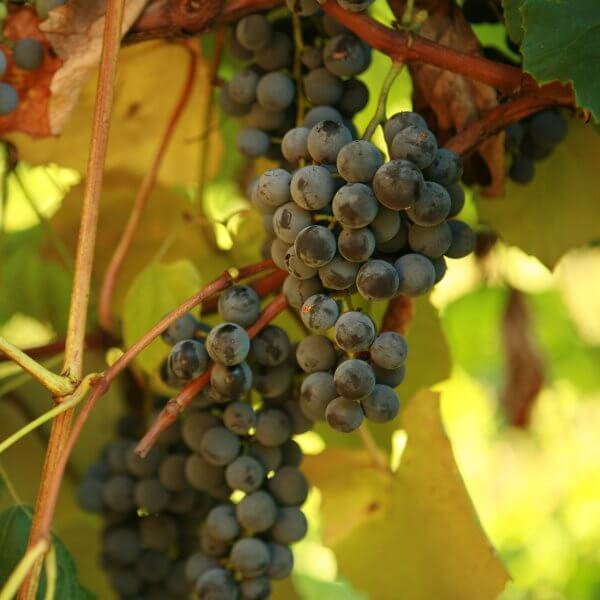 Buy Concord Seedless Grapevines