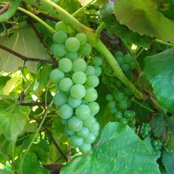 Buy Diamond Grapevines