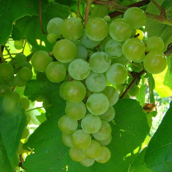 Buy Edelweiss Grapevines