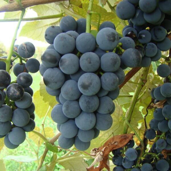Buy Ives Grapevines