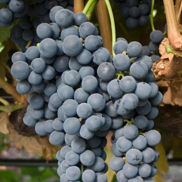 Buy Tempranillo Grapevines