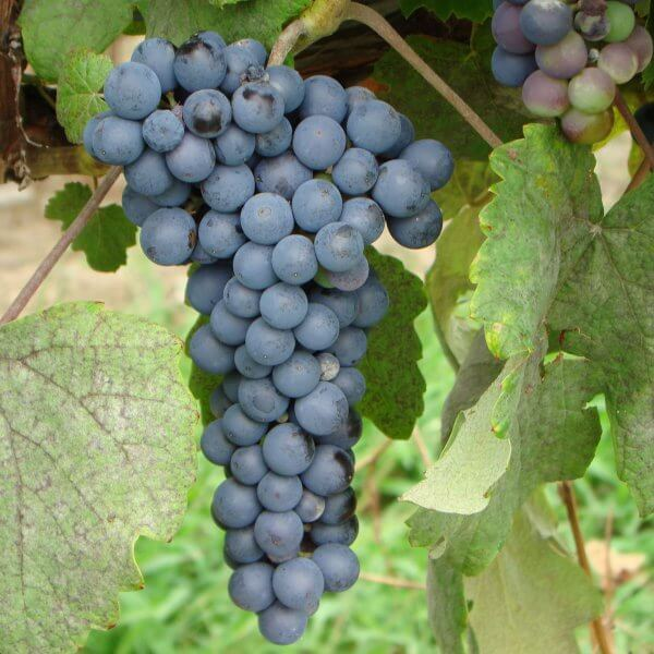 Buy Thomcord Grapevines