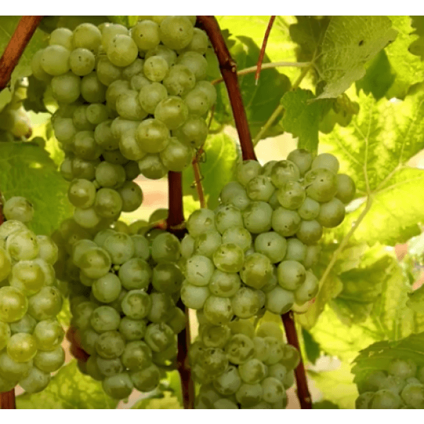 Opportunity Grapevines
