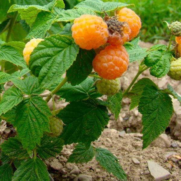 Anne Gold Raspberries (Everbearing)