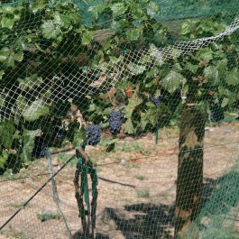Minimizing-Bird-Damage-in-your-Vineyards