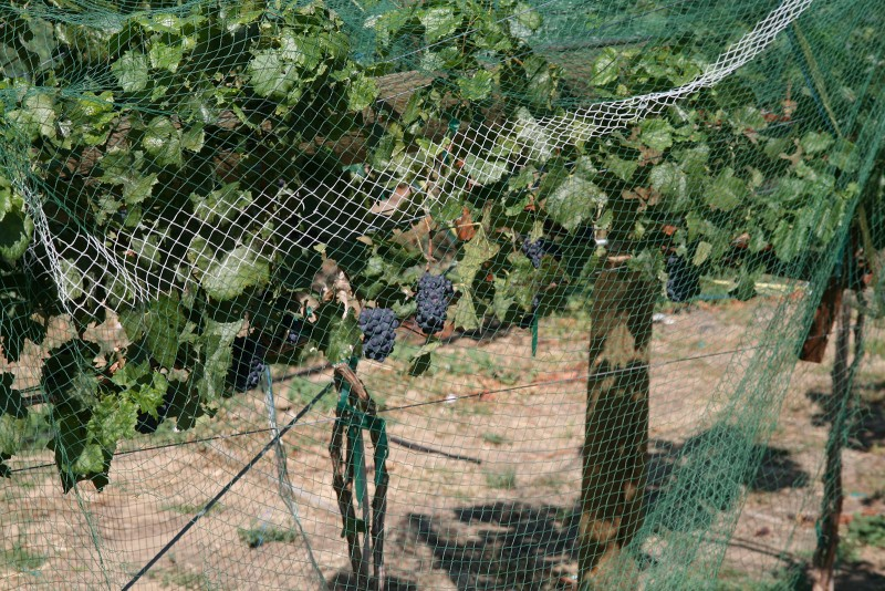 Minimizing Bird Damage in your Vineyards