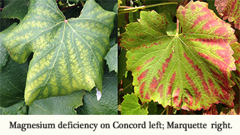 Magnesium deficiency-Leaves-Discoloration-interveinal yellowing