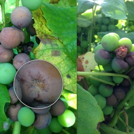 3_26_2014-Caption-(Black-Rot-on-grape-cluster.)