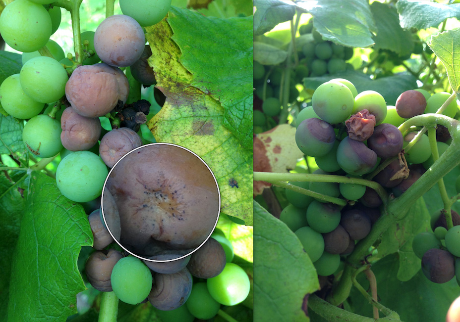 Disease management programs for grapes part 2 news for Table grapes zone 6
