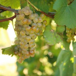 Hybrid Grape Varieties List - All the Rage about Hybrids