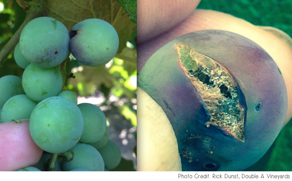 GRAPE Insects
