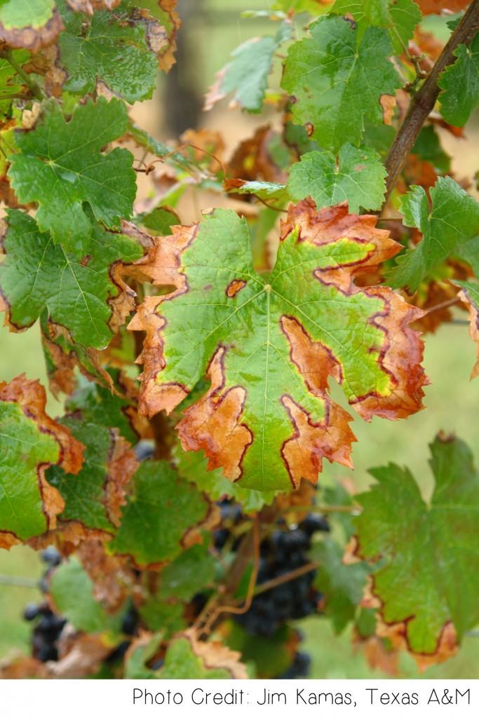 Free Shipping Sites >> Pierce's Disease - Plant Diagnostic